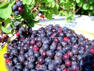 Корисні властивості і протипоказання ягоди ірги